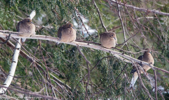 Four mourning doves line up in the sunshine