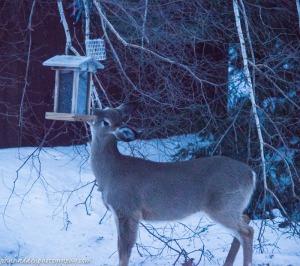 deer-feeder-2