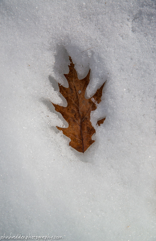 An oak leaf sinks into the snow