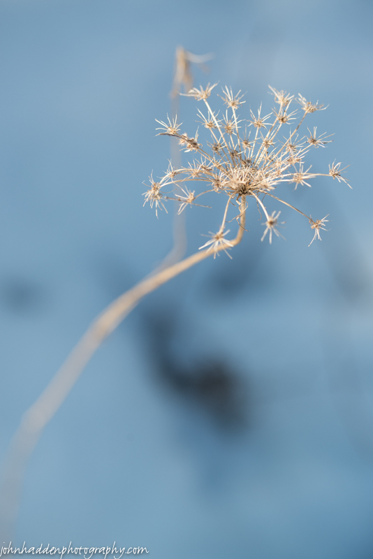 Dried Queen Anne's Lace in the front field