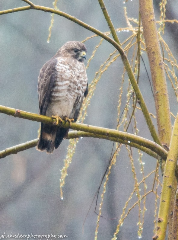 A hawk perches in our pond-side willow in the rain.