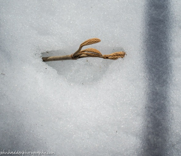 The tip of a hobblebush branch emerges from the snow
