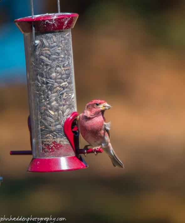A purple finch visits our feeder