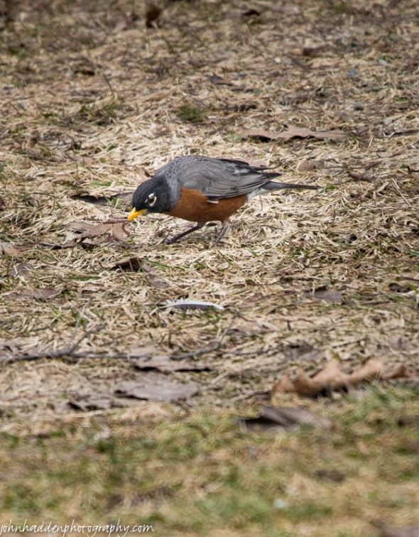 A hungry robin nabs a worm in our front yard