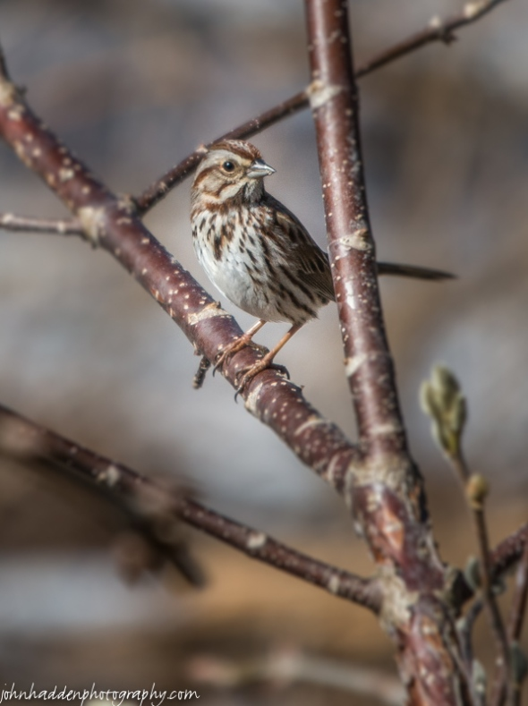 A newly arrived song sparrow in the buckeye tree by our back deck