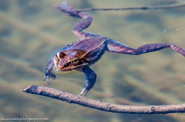 The wood frogs are back in the pond!