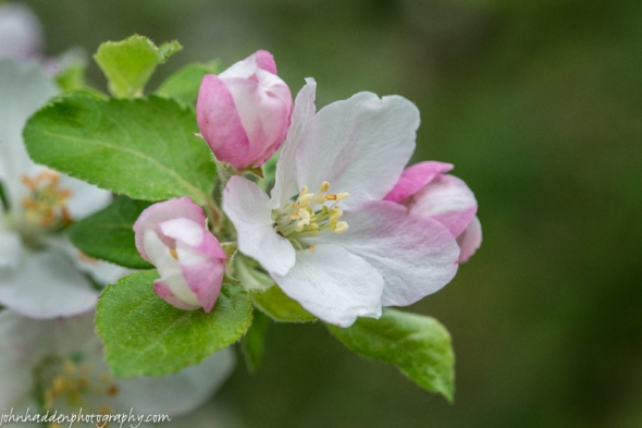 Apple blossoms abound this year.