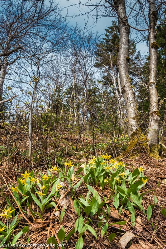 Carpets of trout lilies near the top of Bald Hill