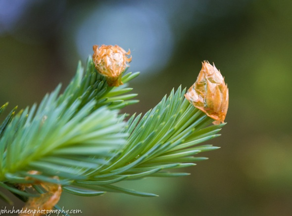 New blue spruce growth emerging