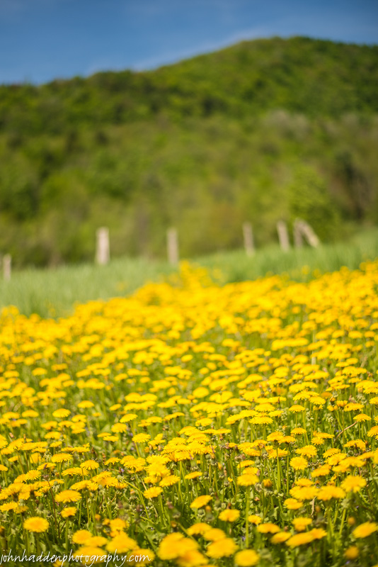 Dandelions carpet a hayfield along Shaker Mountain Road
