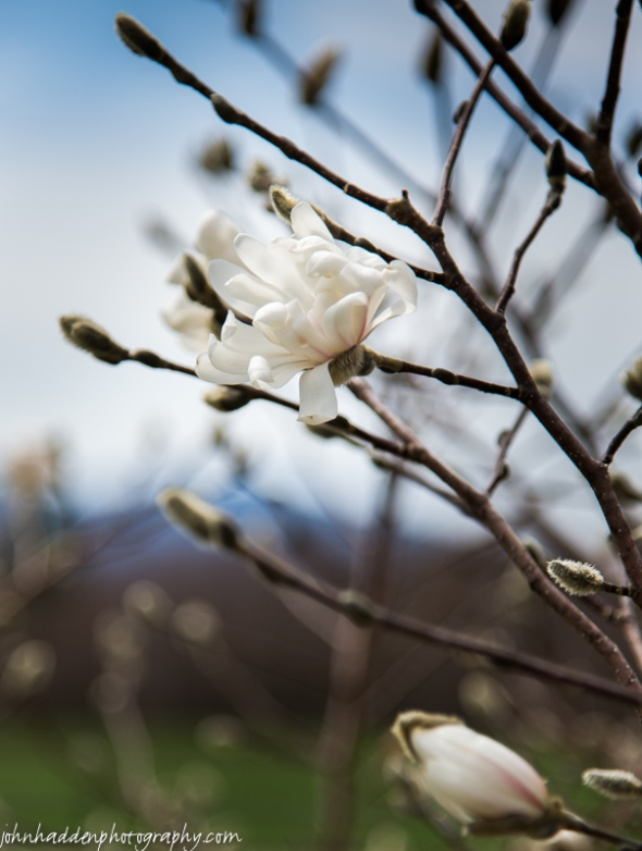 Magnolia flowering at Windekind Farm