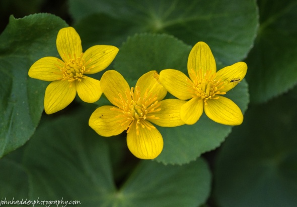 Marsh marigold and a tiny fly in a nearby wetland