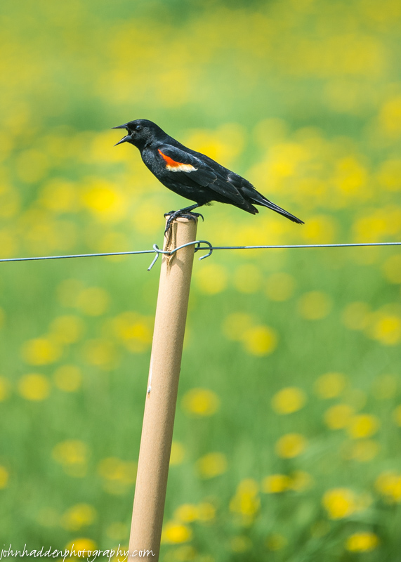 A redwing blackbird along Camel's Hump Road