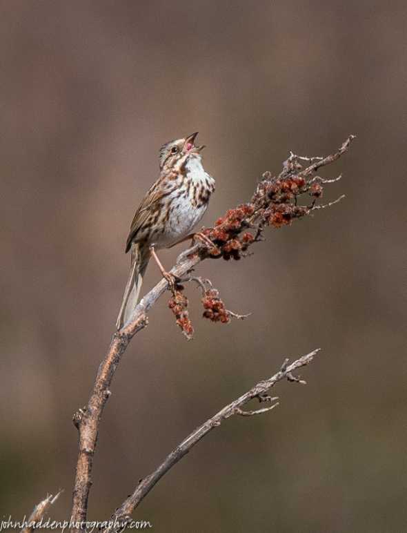 A song sparrow cuts loose in the sumac in our front field.