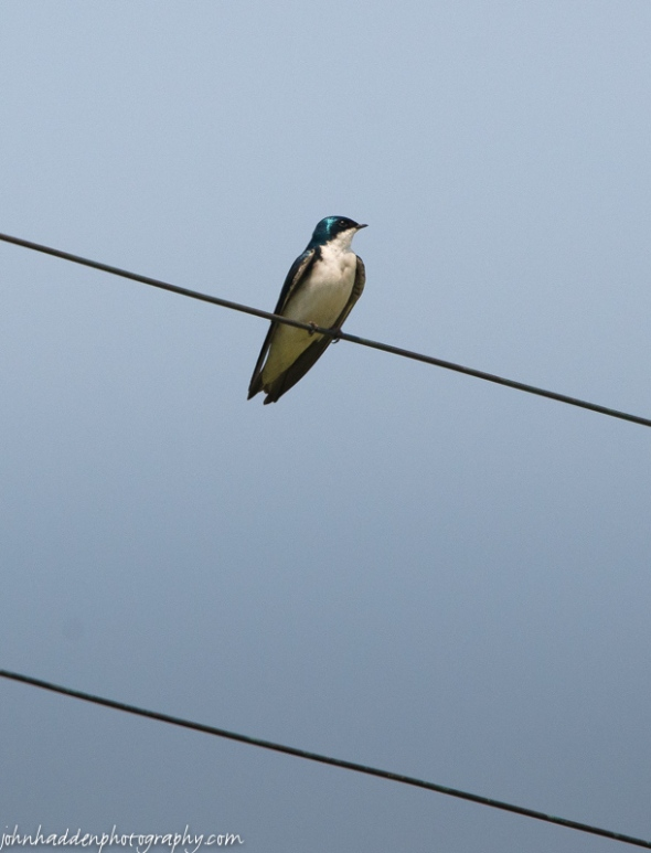 A tree swallow on a wire along Shaker Mountain Road.