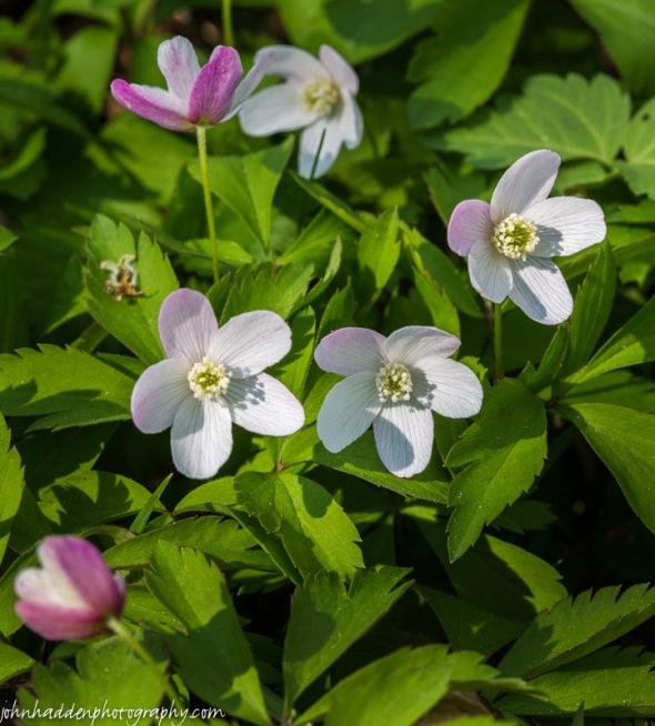 Wood anemone flowering along Fargo Brook