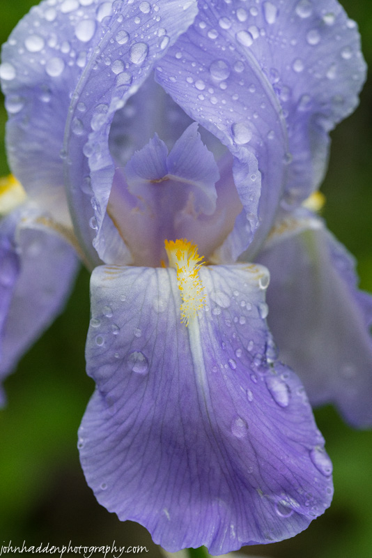 Raindrop bespeckled bearded iris