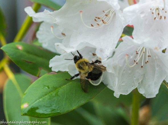 A bumble bee works a rhododendron bloom on a damp morning