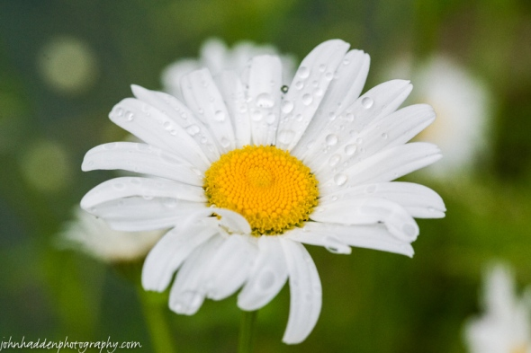 A damp daisy by the pond