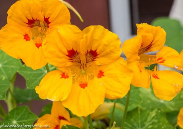 Brilliant (and tasty!) nasturtium blooming in our window boxes.