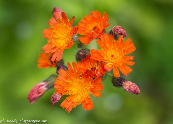 Orange hawkweed in our front field