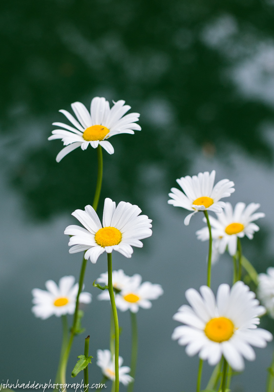 Shasta daisies blooming by the pond