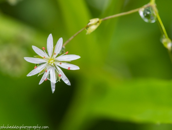 Lessor stitchwort in our front field