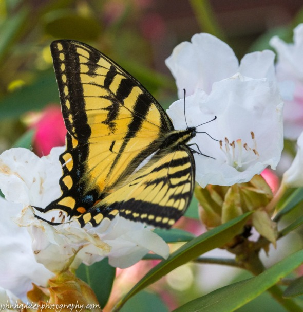 A tiger swallowtail sips at the rhododendron outside the kitchen window.