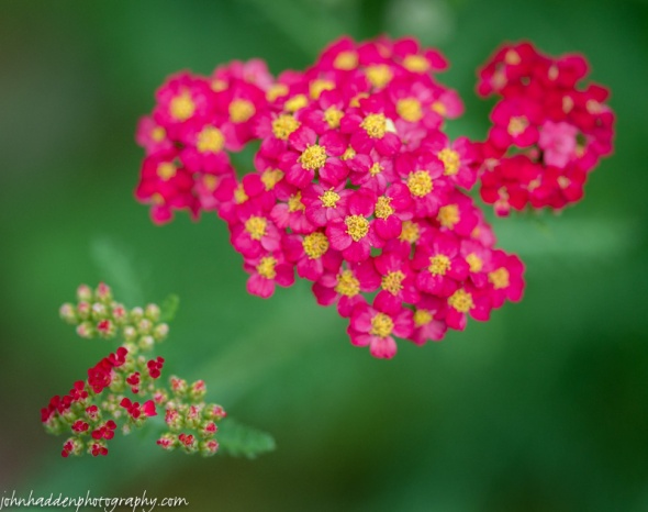 Bright red yarrow by the back deck