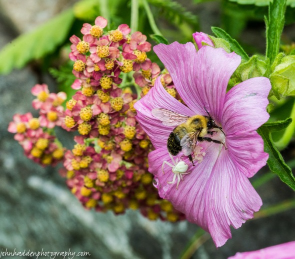 A bumble bee and crab spider meet in a mallow blossom