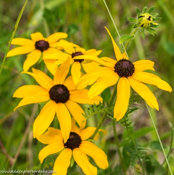 Black-eyed Susans a-blooming!