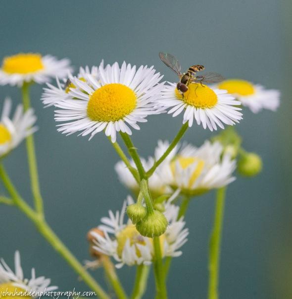 A Tachina fly works a daisy fleabane blossom