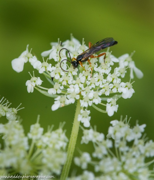 A tiny wasp on a tiny portion of Queen Anne's lace