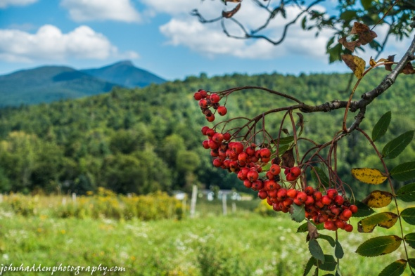 Mountain ash berries with Camel's Hump in the background