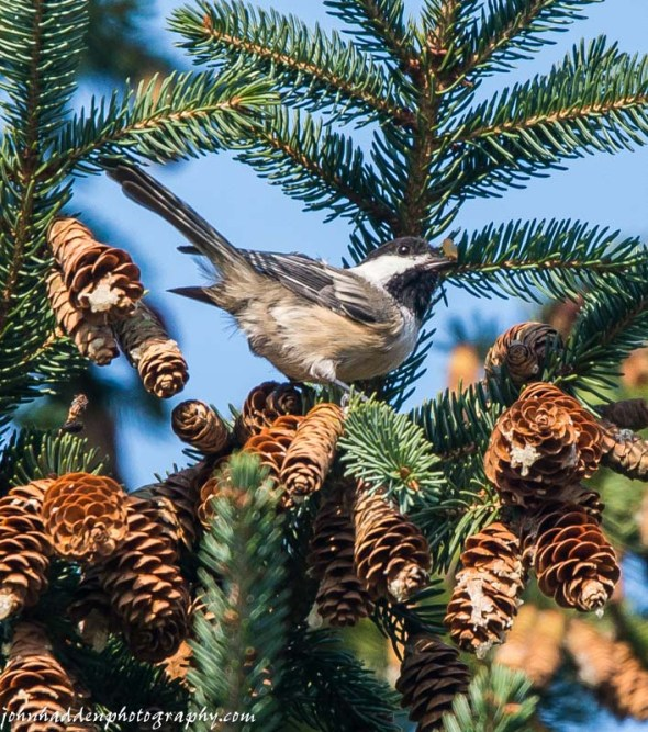 a chickadee feeds in the spruce trees in our front yard