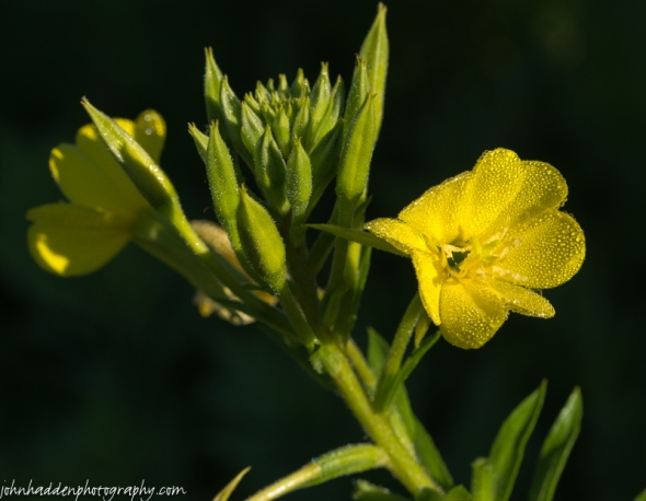 Evening primrose catches the morning light in our front field