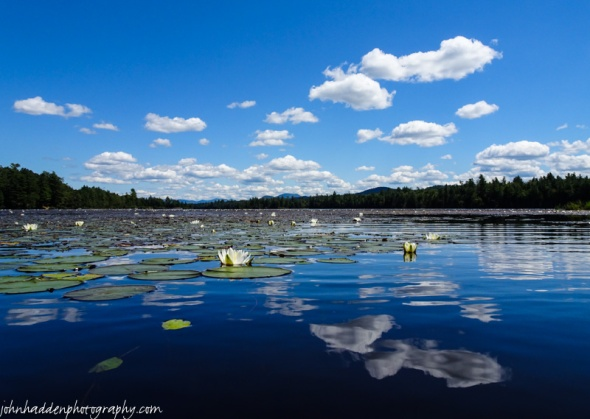 Lily pads, flowers, and sky on Forked Lake