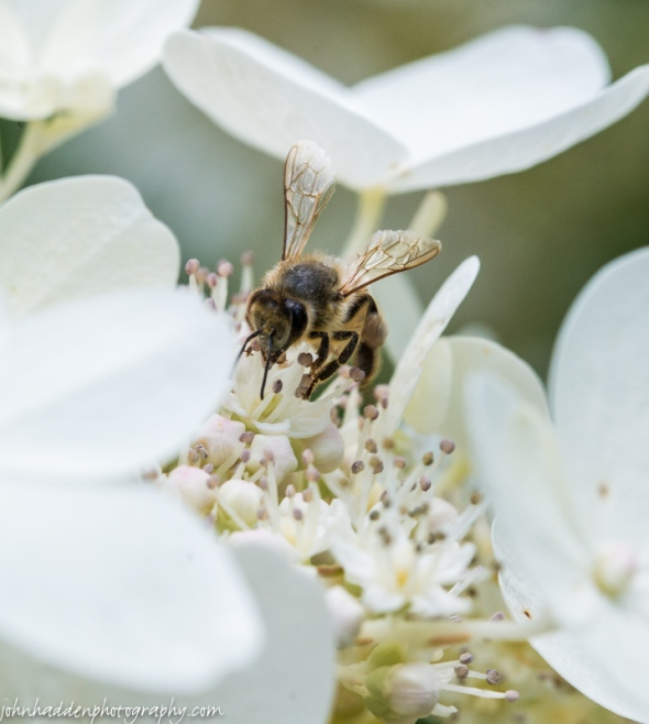 A solidary bee loads up on pollen from our hydrangea