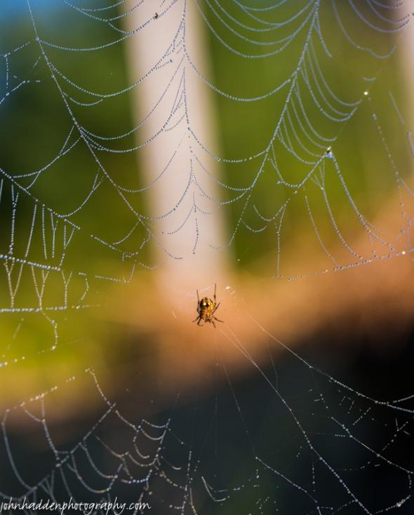 An orb spider in her dew-bedecked web