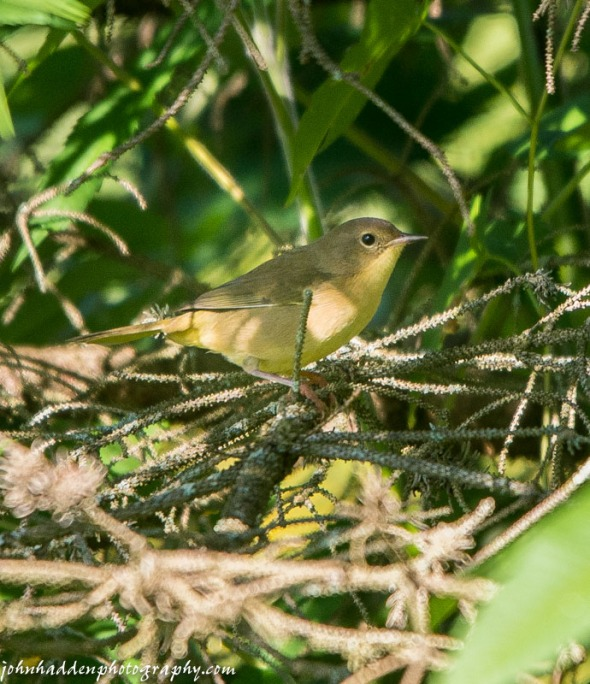 A furtive warbler lurks in the brush around spruce trees