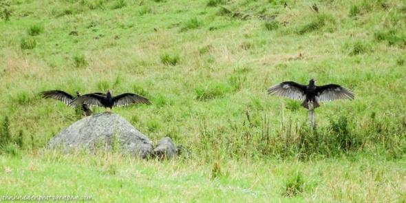 vultures-close