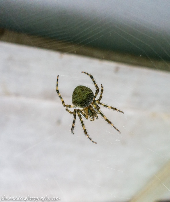 An orb weaver spider in our garage!