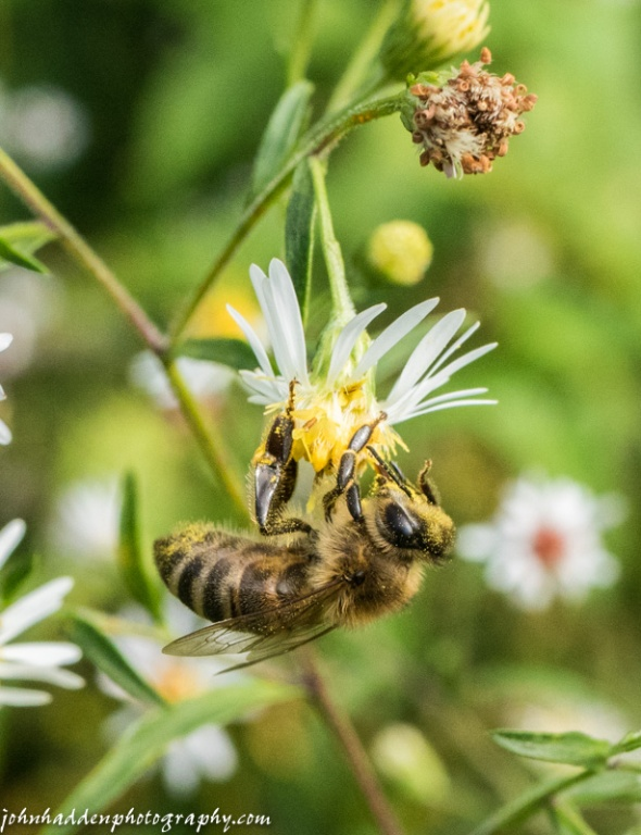 A honey bee works white asters in our font field yesterday