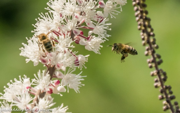 Honey bees work the bugbane in our ornamental garden