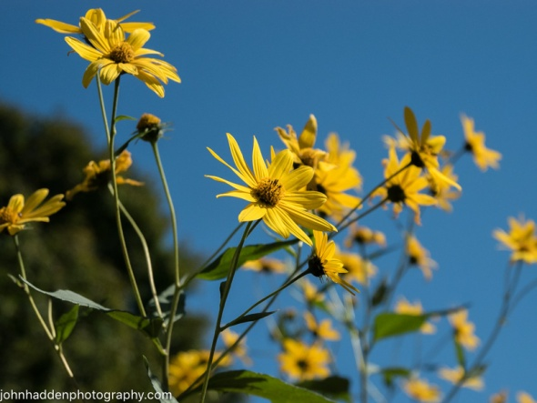 Jerusalem artichoke blooming against a blue sky