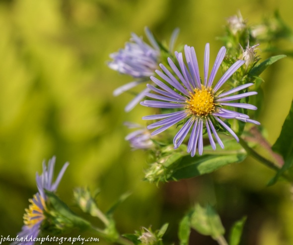 Purple stemmed asters blooming along Taft Road