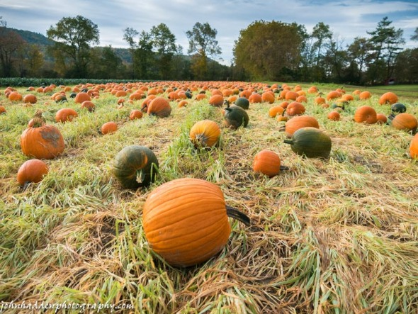 Pumpkins await homes in the field at Cedar Circle Farm in Thetford, VT