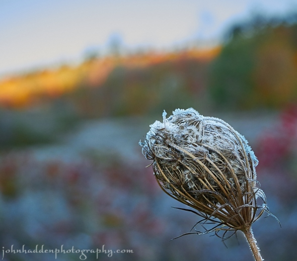 Frosted Queen Anne's Lace yesterday morning at sunrise