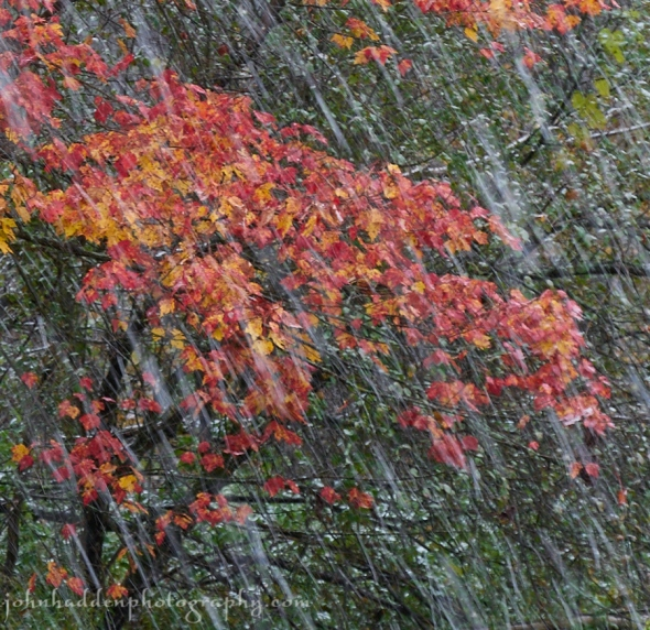 Snow falls in front of blazing maple leaves