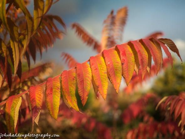 Sumac pops in late afternoon sunlight